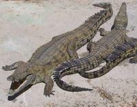 Nile Crocodile (diambil dari Wikipedia)